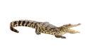 Dangerous crocodile open mouth