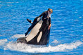 Dangerous Killer whale and trainer. Royalty Free Stock Images