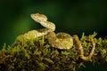 Dangerous snake in the nature habitat. Eyelash Palm Pitviper, Bothriechis schlegeli, on the green moss branch. Venomous snake in t Royalty Free Stock Photo