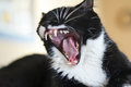 Dangerous yawn black and white cat yawning a Royalty Free Stock Image