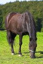 Danish horse Stock Images