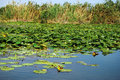 Danube Delta lilies Stock Photos