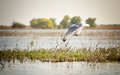 Danube delta seagull landscape with a flying Royalty Free Stock Photography