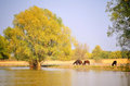 Danube delta wild horses landscape with Stock Photos