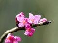 Daphne Blossom