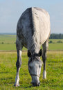 Dapple-grey mare Royalty Free Stock Image