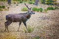 Dappled deer grazes in forest glade Royalty Free Stock Photography