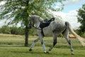 Dappled Grey Horse Royalty Free Stock Photo