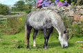 Dappled grey horse and stone wall a grazing on grass in front of an old of english cottage Stock Photo