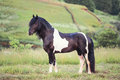 Dappled horse standing in a field Royalty Free Stock Photo