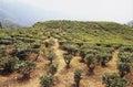 Darjeeling tea plantation Royalty Free Stock Photo