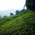 Darjeeling tea plantation. Vintage filter photo. Royalty Free Stock Photo