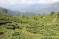 Darjeeling tea plantation, West Bengal, India Royalty Free Stock Photo