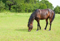 Dark bay horse grazing on lush green grass Stock Images