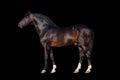 Dark bay horse Royalty Free Stock Photo
