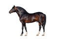 Dark Bay Horse Isolated On Whi...