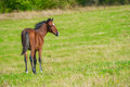 Dark bay horse in a meadow with green grass Royalty Free Stock Images