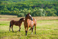 Dark bay horses in a meadow with green grass Royalty Free Stock Image