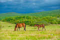 Dark bay horses in a meadow with green grass Stock Photography