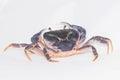 Dark blue crab Royalty Free Stock Photo