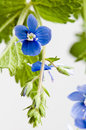 Dark blue field flower it is on white Stock Image