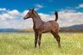 Dark brown Arabian foal Royalty Free Stock Photo