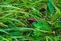 Dark brown earthen frog close-up among bright green vegetation, various plants Royalty Free Stock Photo