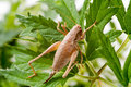Dark bush cricket pholidoptera griseoaptera female here sitting on blackberry leaves Royalty Free Stock Photography