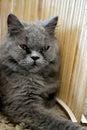 Dark cat persian looking in feeling ruffian Royalty Free Stock Photos