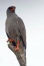 Dark chanting goshawk melierax metabates in kruger national park south africa Royalty Free Stock Image