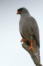 Dark chanting goshawk melierax metabates in kruger national park south africa Royalty Free Stock Image