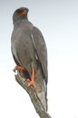 Dark chanting goshawk melierax metabates in kruger national park south africa Royalty Free Stock Images