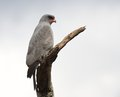 Dark chanting goshawk a perched on the branch of a dead tree in the umkhuze kzn park kwazulu natal south africa Stock Photos