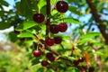 Dark cherries Royalty Free Stock Photo