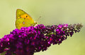 Dark clouded yellow butterfly on or colias crocea purple butterflybush in summer garden Royalty Free Stock Images