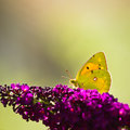 Dark clouded yellow butterfly on or colias crocea purple butterflybush in summer garden square Royalty Free Stock Images