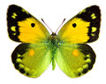 Dark clouded yellow butterfly colias croceus isolated on a white background Royalty Free Stock Photos