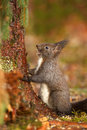 Dark coloured red squirrel Royalty Free Stock Image