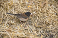 Dark-eyed Junco Male Royalty Free Stock Photo