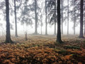 Dark forest in autumn with some fog Royalty Free Stock Photography