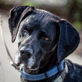 Dark german shorthaired pointer dog head looking thoughtful pensive of a black and brown with collar and leash Royalty Free Stock Photography