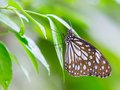 Dark glassy tiger butterfly in public park in thailand Royalty Free Stock Photo
