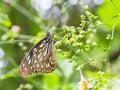 Dark glassy tiger butterfly in public park in thailand Stock Photos