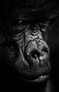 Dark Gorilla Portrait