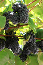 Dark grapes in the Italian province of Trento Royalty Free Stock Images