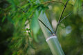 Dark green bamboo node blur background taken summer season Royalty Free Stock Photo