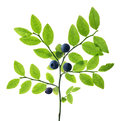 Dark green blueberry branch with four berries Royalty Free Stock Photo