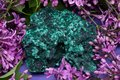 Dark green fibrous Malachite cluster from Shaba Province, Zaire, surrounded by purple lilac flower. Royalty Free Stock Photo