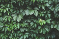 Dark green foliage, Green leaves background, pattern, texture Royalty Free Stock Photo