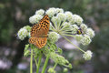 Dark green fritillary butterfly argynnis aglaja altai krai Royalty Free Stock Photography